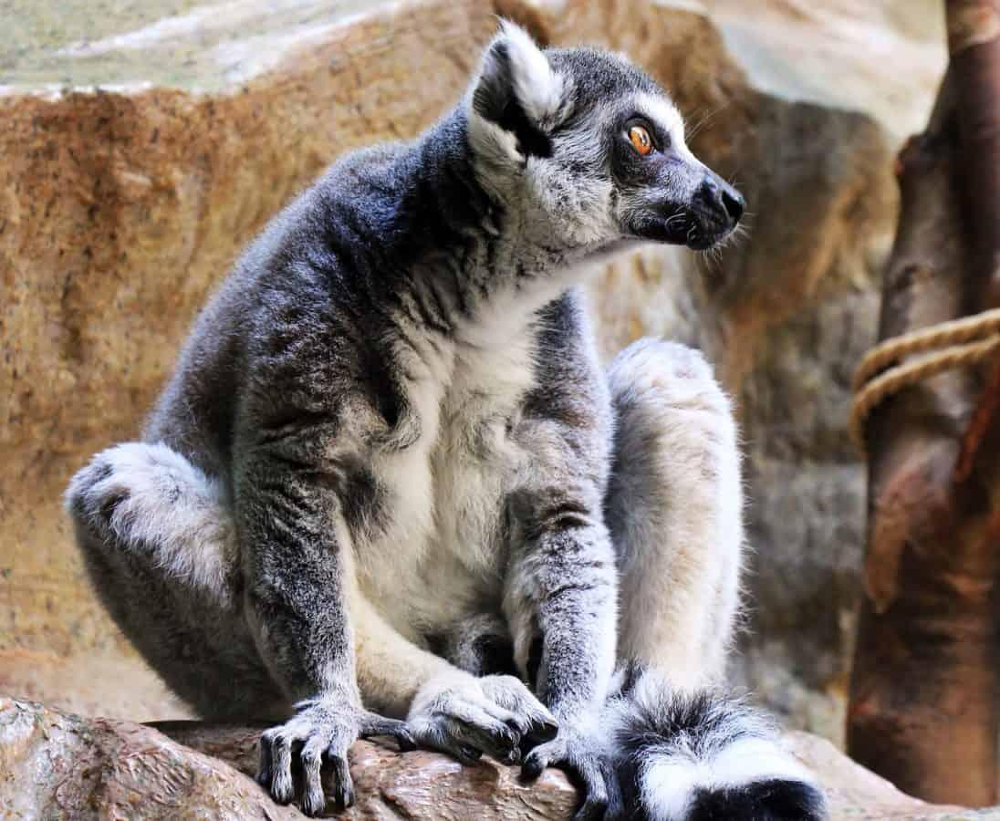 cute, lemur, động vật, động vật hoang dã, thiên nhiên, Fur, gương điển hình