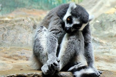 wildlife, cute, animal, lemur, fur, wild, nature