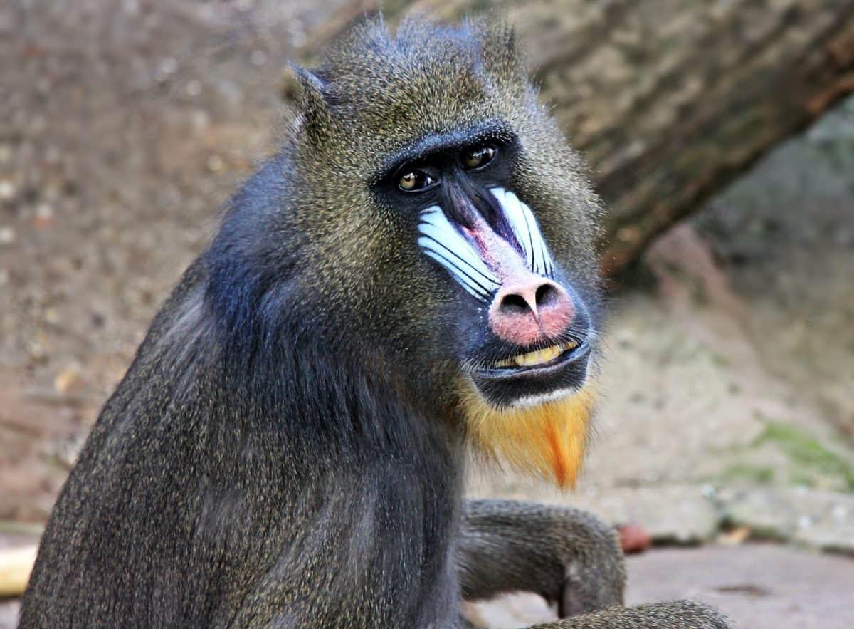 vild, dyr, abe, primat, natur, dyreliv