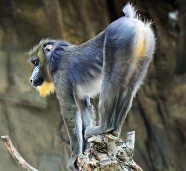 aap, dier, natuur, primaat, portret, Wildlife, wild