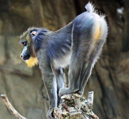 monkey, animal, nature, primate, portrait, wildlife, wild