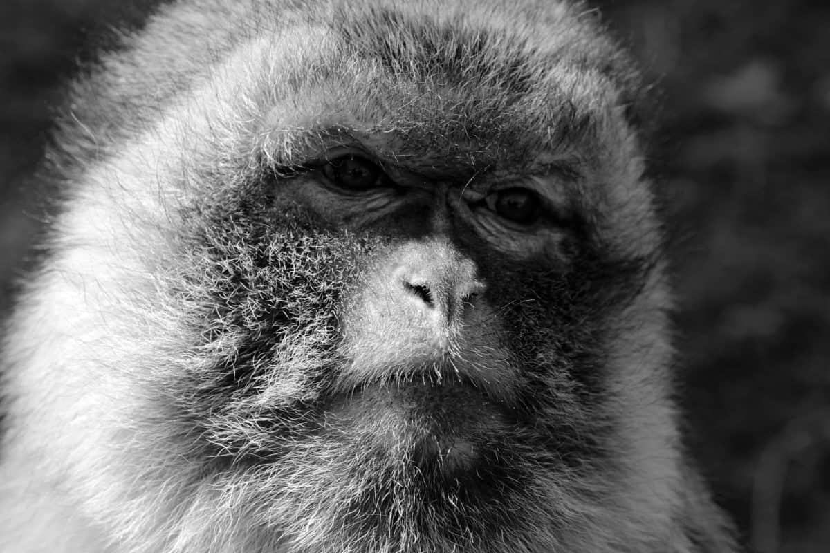 đơn sắc, thiên nhiên, động vật, khỉ, chân dung, động vật hoang dã, linh trưởng