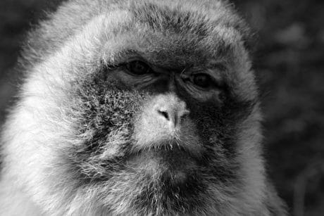 monochrome, nature, animal, singe, portrait, faune, primate