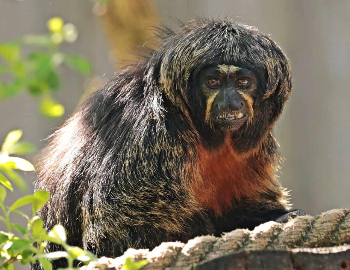 opice, primát, divoká zvěř, zvíře, příroda, portrét, hlava