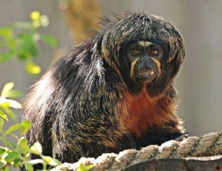 abe, primater, dyreliv, dyr, natur, portræt, hoved