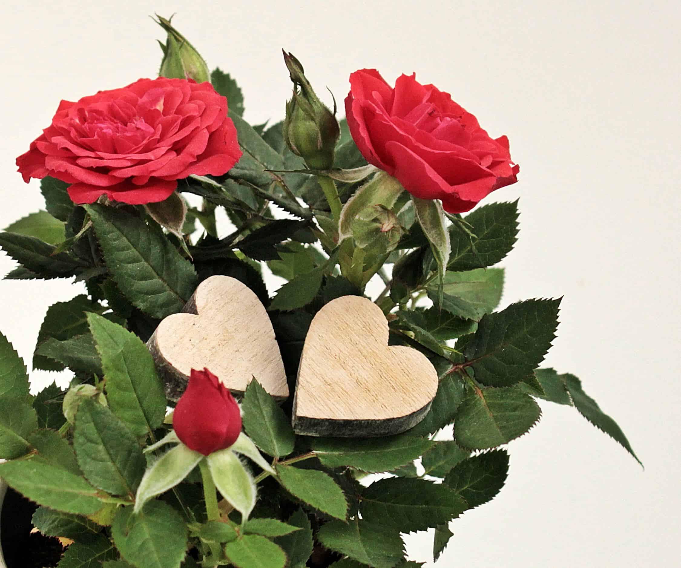 Image Libre Feuille Petale Fleur Nature Coeur Amour Plante