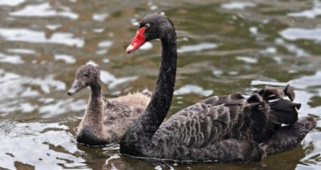 black swan, ornithology, waterfowl, wildlife, nature, water, bird