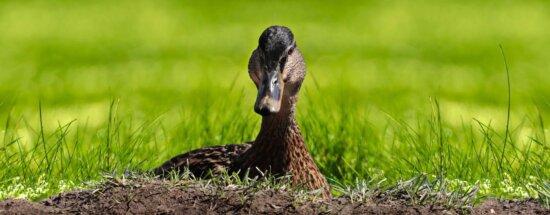 nature, faune, herbe, sauvagine, canard, oiseau, sauvage