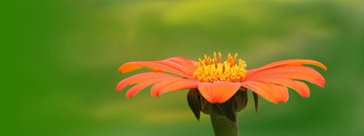 natureza, verão, flor, pétala, erva, planta, flor, jardim