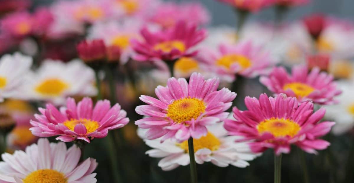 garden, flower, summer, petal, nature, leaf, pink, plant