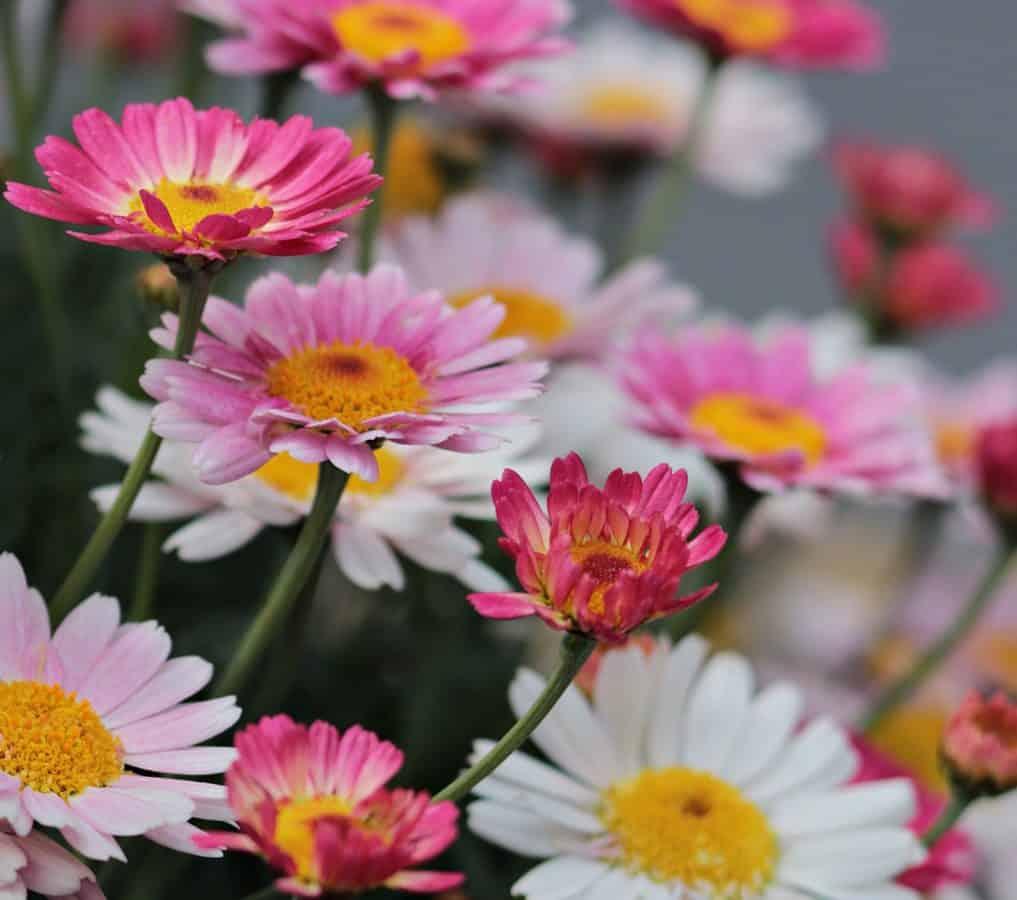 garden, summer, flower, petal, nature, plant, blossom, pink