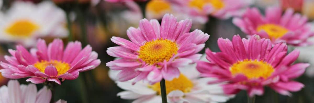 natur, økologi, sommer, haven, blomst, petal, pink, plante, blossom