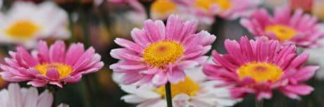 natura, ecologia, estate, giardino, fiore, petalo, rosa, pianta, fiore