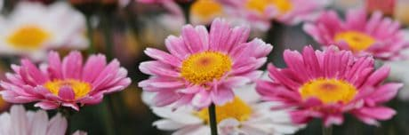 nature, ecology, summer, garden, flower, petal, pink, plant, blossom