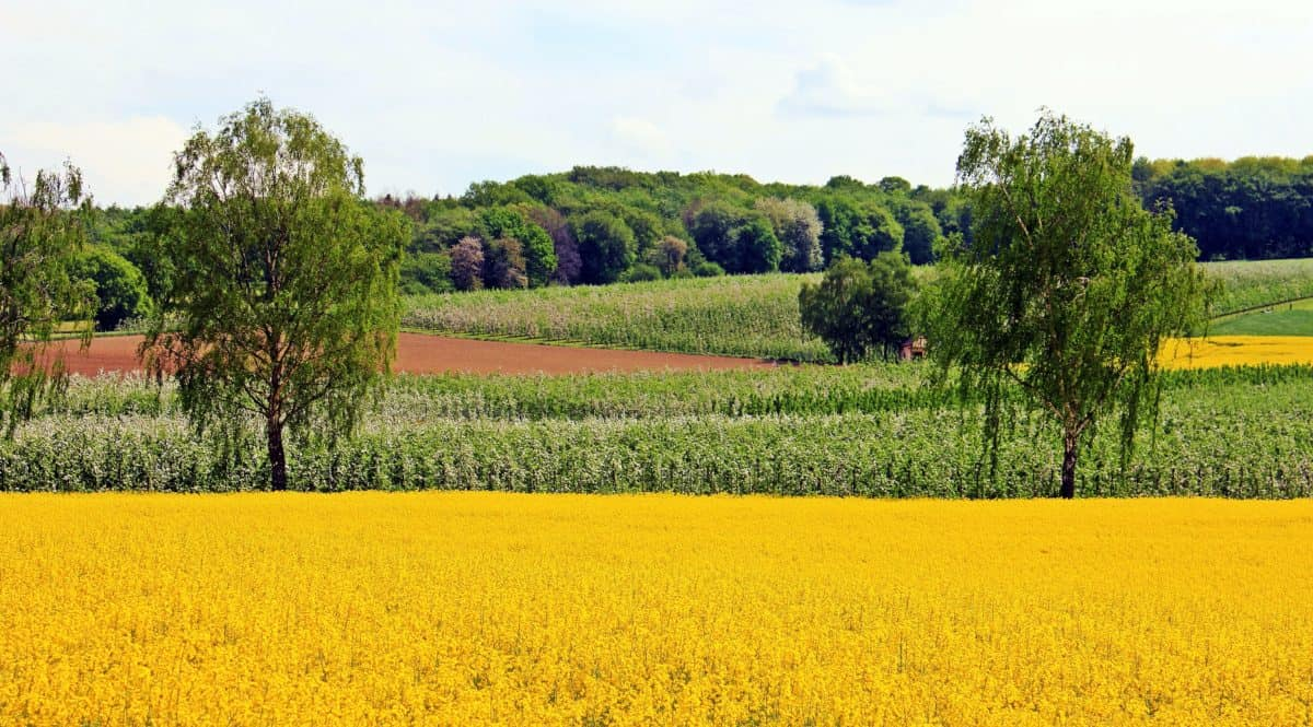 agriculture, field, flower, countryside, landscape, nature, tree