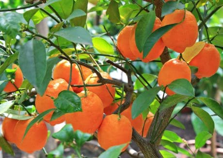 orange fruit, leaf, nature, food, branch, garden, summer, citrus, orange