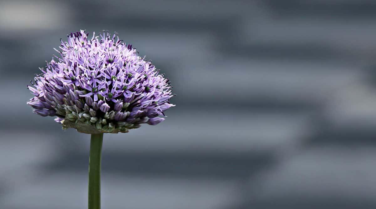 plant, violet, flower, nature, outdoor