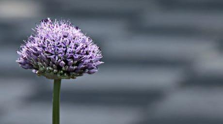 tanaman, violet, bunga, alam, Kolam
