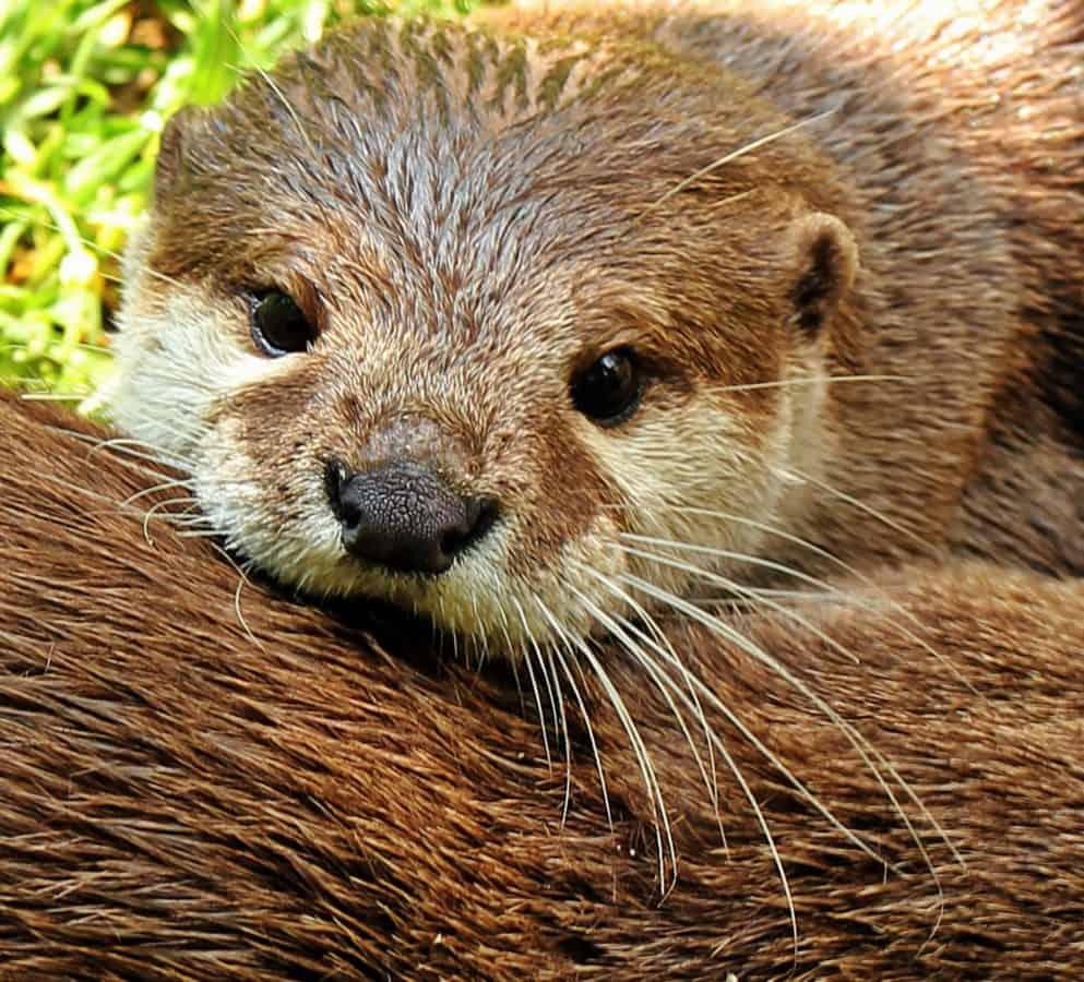 nutria, roedor, piel, animal, naturaleza, vida silvestre, silvestre