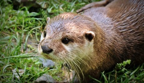 animal, wildlife, nature, cute, otter, fur, wild, rodent
