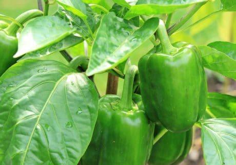 alimento, naturaleza, verdura, hoja, paprika, dieta, vegetariana, orgánica