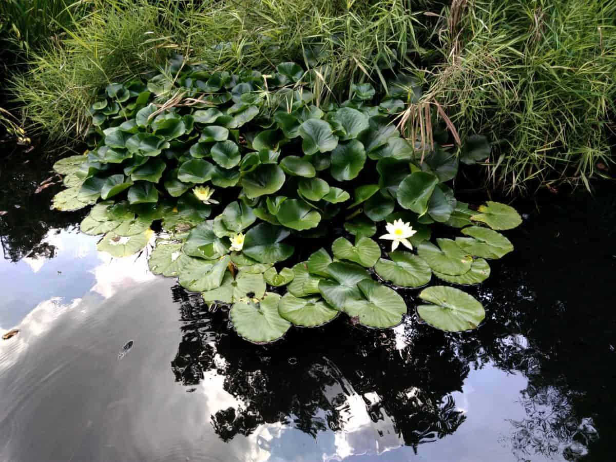 Flora, loto bianco, acqua, fiore, natura, giardino, foglia, albero, pianta, outdoor