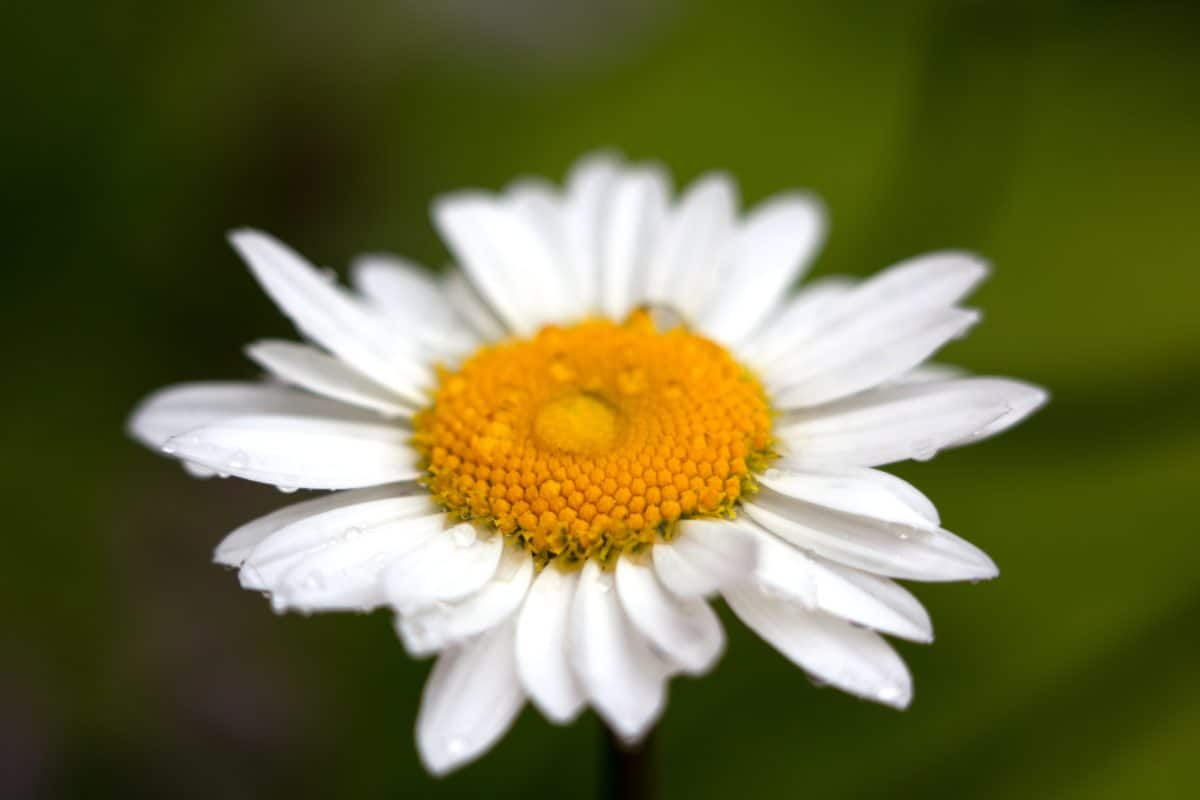 alb daisy, pistil, roua, ploaie, flori, natura, plante medicinale, floare