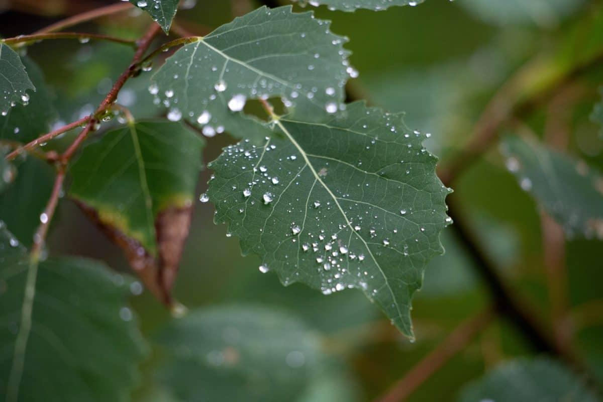 flora, grønne blade, natur, træ, regn, plante, blade