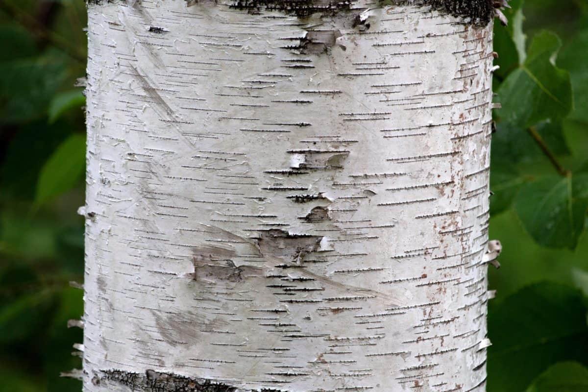 alam, tekstur, pohon, birch, kulit, kayu, tua, pola