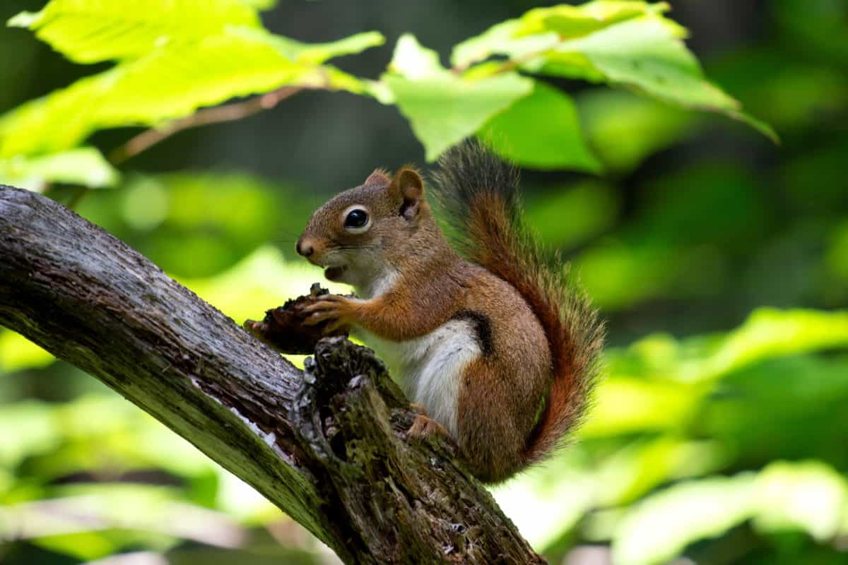 rodent, brown squirrel, animal, tree, nature, wildlife, wood