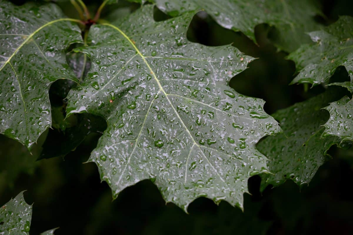 grønne blad, eik, flora, natur, treet, plante