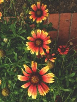 colorful flower, summer, flower garden, nature, flower, plant, petal, herb