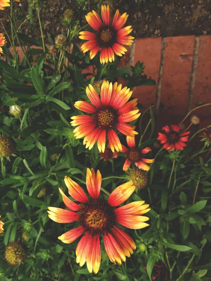 colorful flower, summer, flower garden, nature, flower, plant, petal, herb