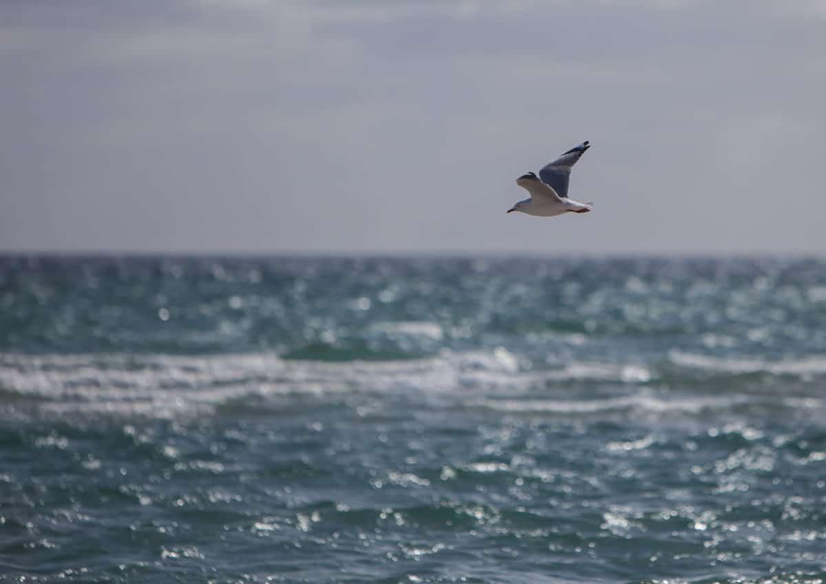 Чайка, Seabird, вълна, небе, птици, морския бряг, плаж, вода, океан, природа, полет