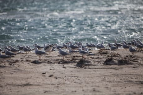 seagull, shorebird, sand, ornithology, ocean, sea, wildlife, water, bird, seashore, beach