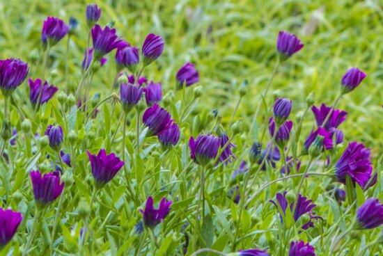 feuille, fleur pourpre, été, jardin, herbe verte, nature, champ, herbe