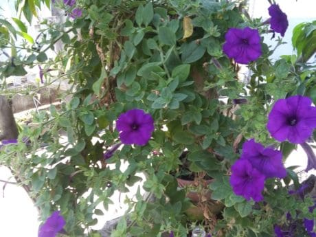 flower garden, purple flower, green leaf, outdoor