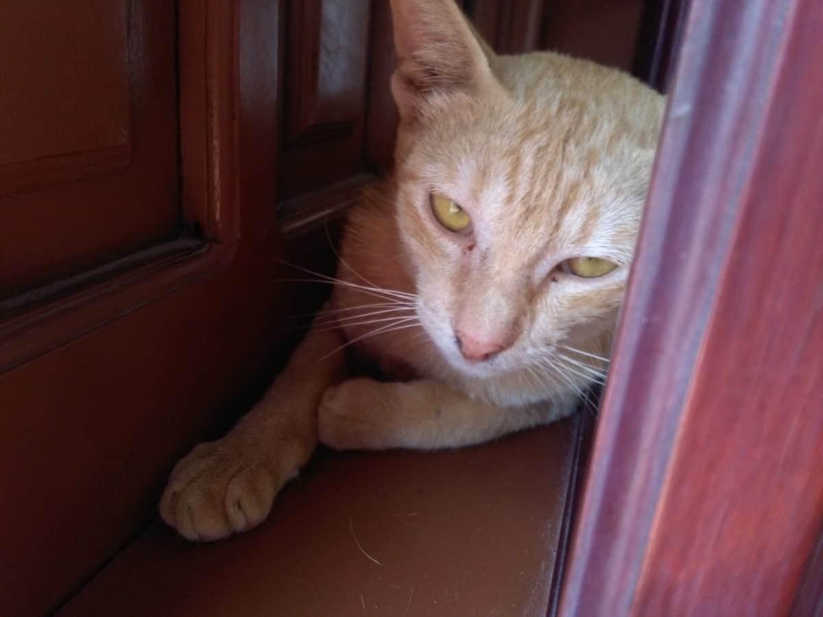 portret, żółty kot, Przednie drzwi, kotek, futro, zwierzę
