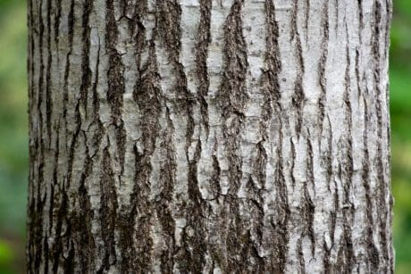 tree, wood, nature, tree bark, environment, oak, birch, forest