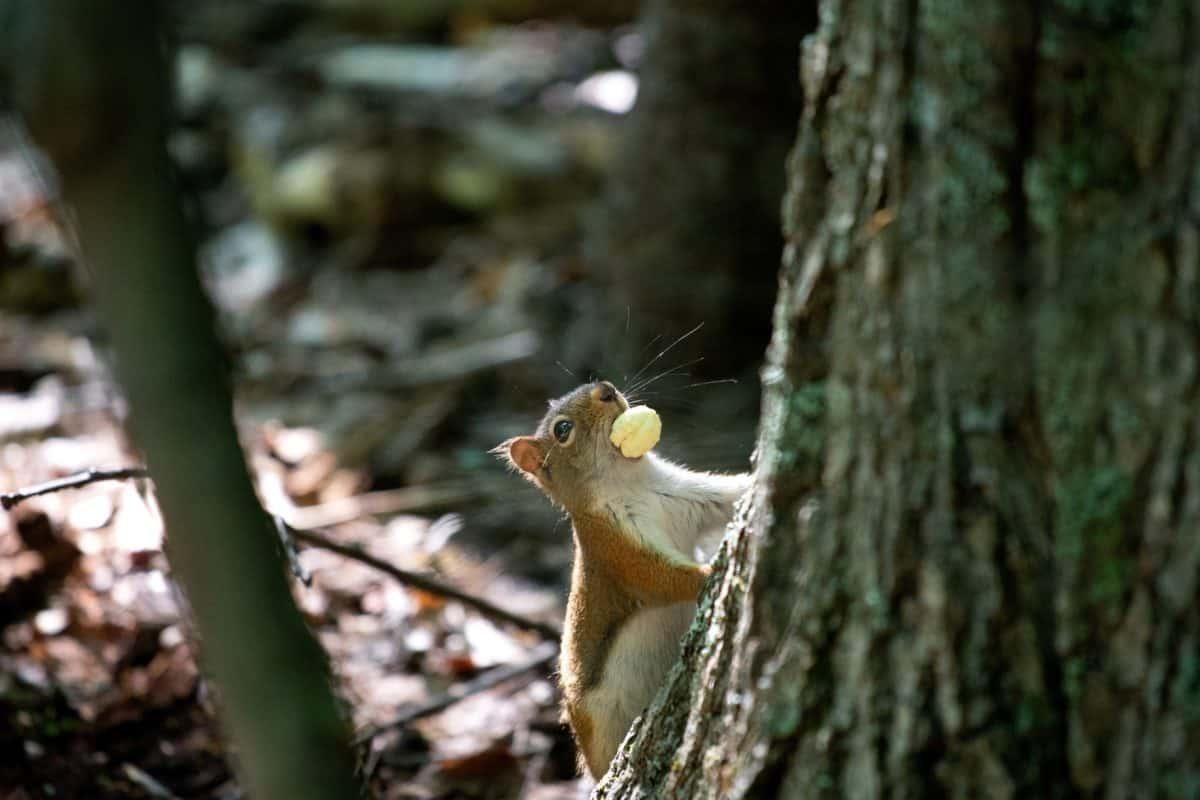 Eichhörnchen, Natur, Baum, Wild, Holz, Tierwelt, Wald, Nagetier, Zoologie