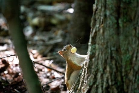 squirrel, nature, tree, wild, wood, wildlife, forest, rodent, zoology