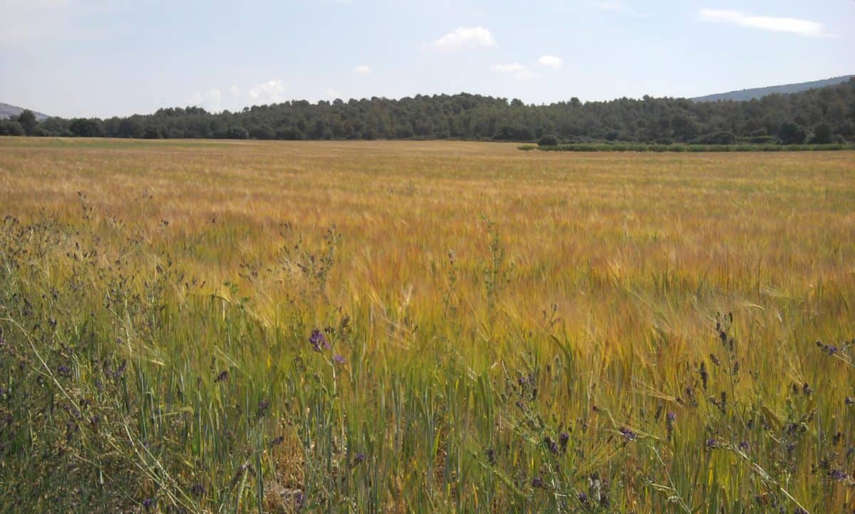 wheatfield, cereal, nature, agriculture, field, landscape, grass, meadow