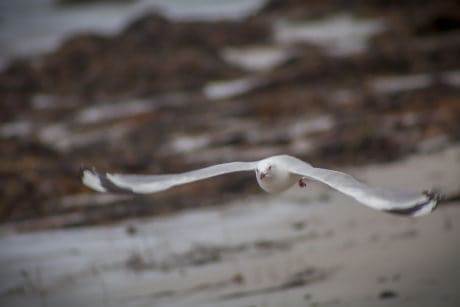 seagull, flight, wildlife, nature, white bird, ornithology, beak, animal