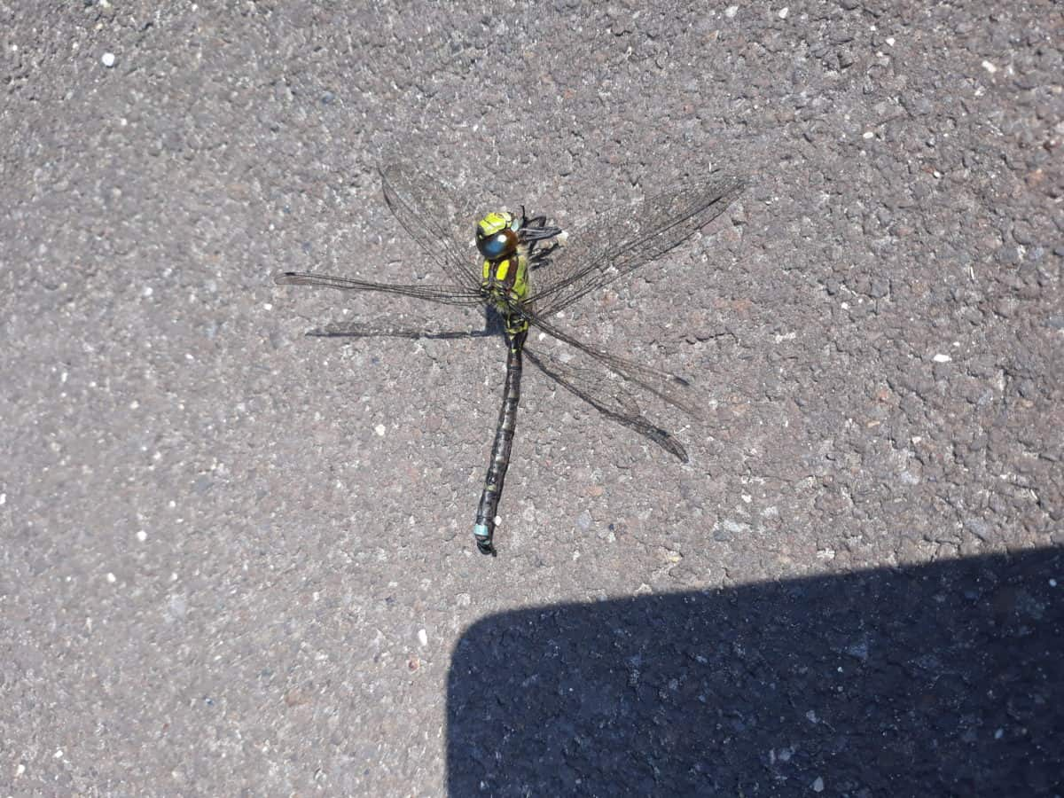 priroda, Dragonfly, kukac, Arthropod, beskraljak, kukac, životinja
