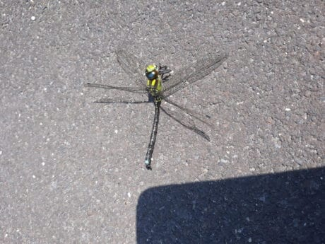 nature, dragonfly, insect, arthropod, invertebrate, bug, animal