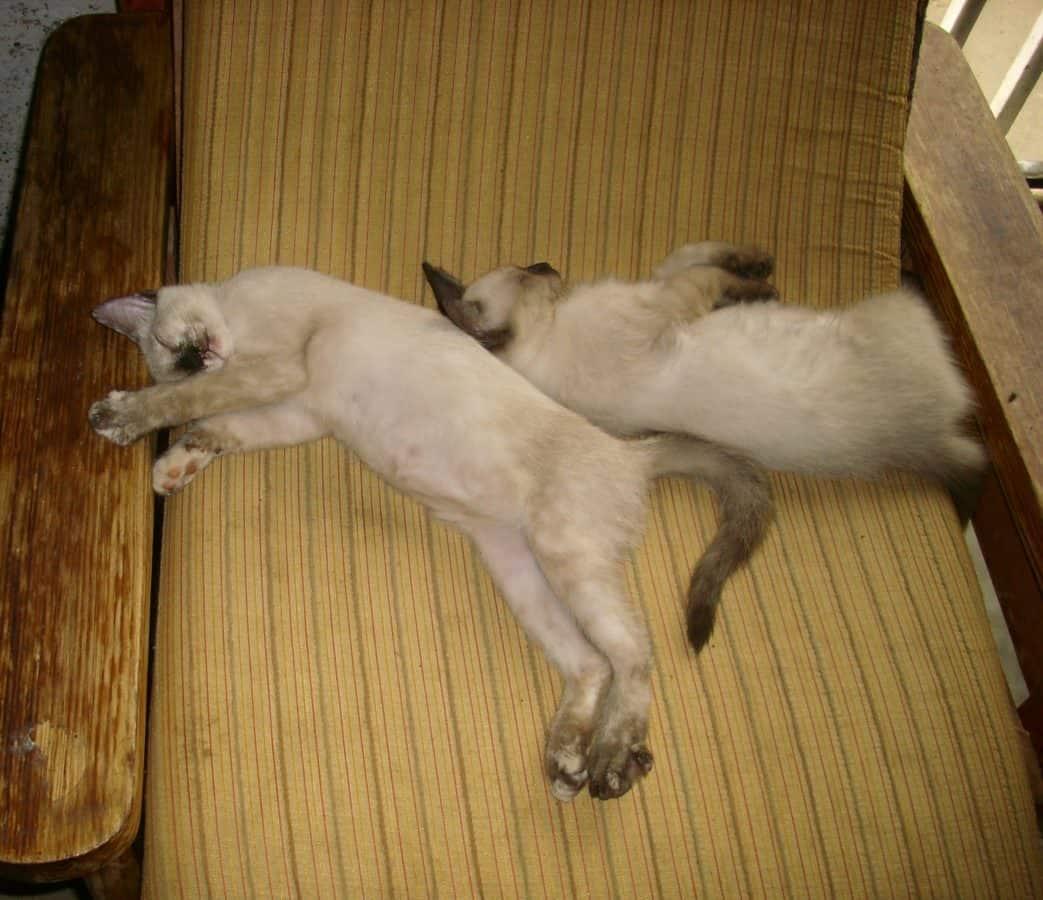 domestic cat, furniture, indoor, room, cat