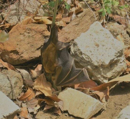 chauve-souris, animal, brun, nature, extérieur