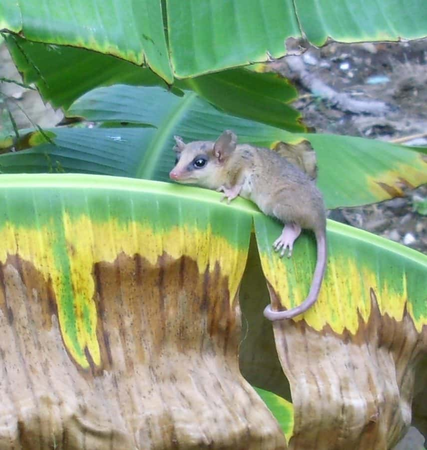 rodent, nature, animal, tail, wild, tree, wildlife, banana tree