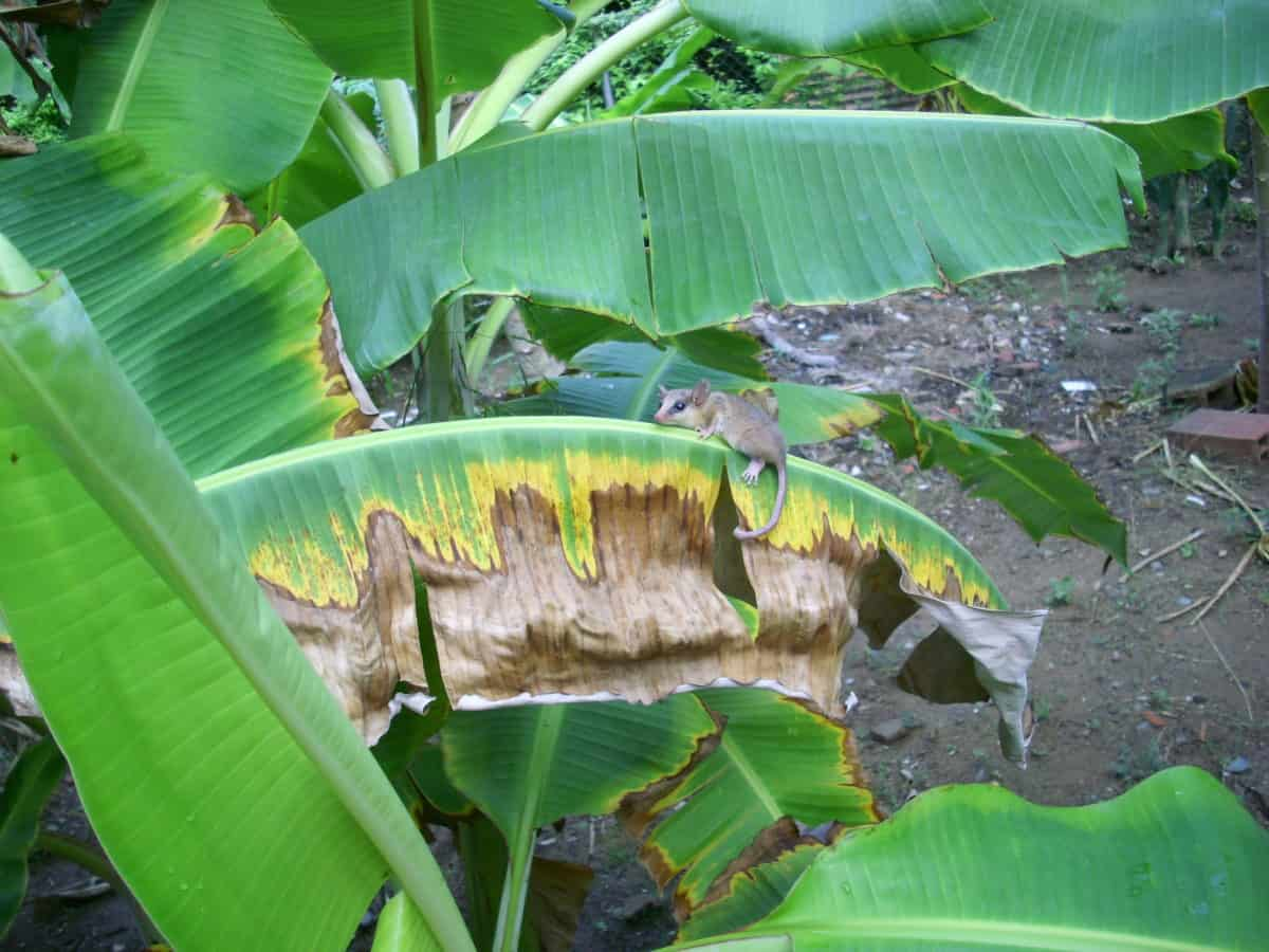 rodent, rainforest, leaf, nature, environment, banana tree, plant, outdoor