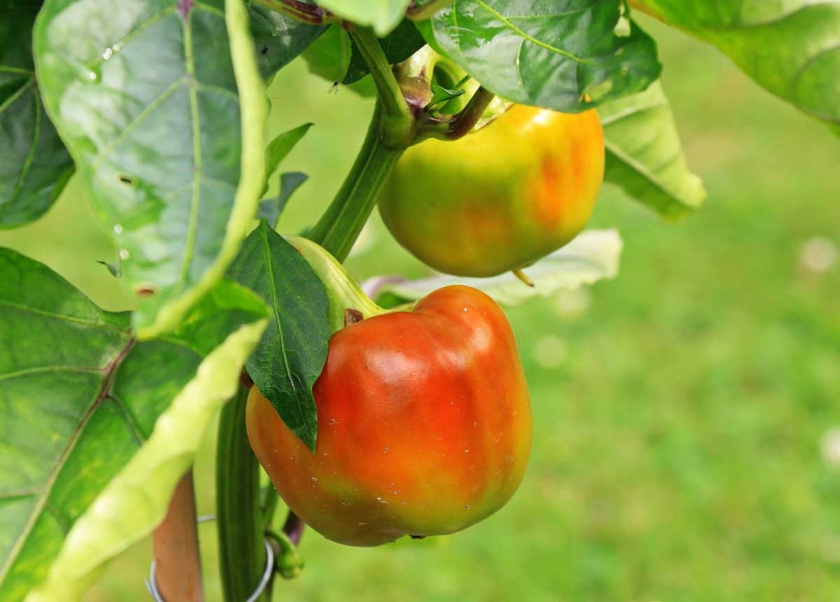 nature, food, nutrition, leaf, fruit, vegetable, pepper, tomato